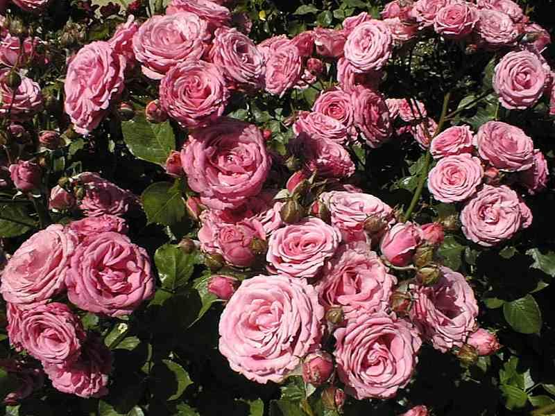 pinkrosette