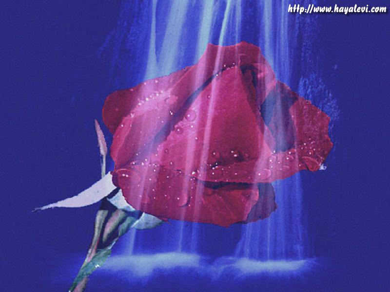 rose049